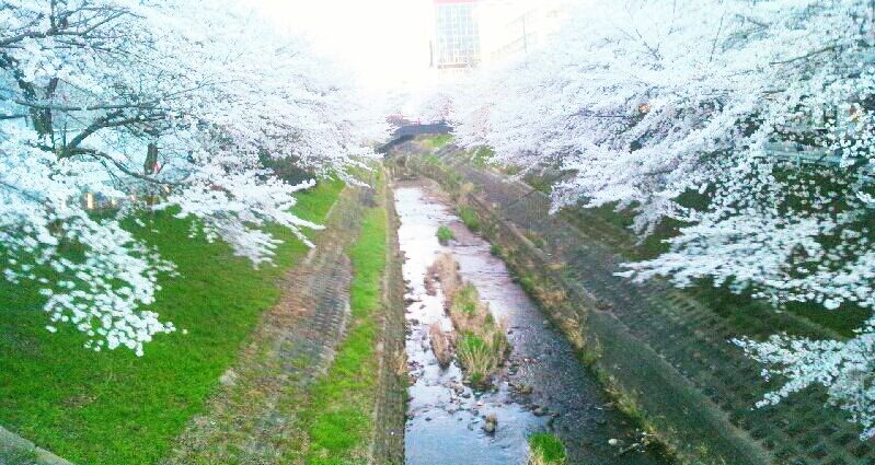 photography japan spring nature cherry blossom